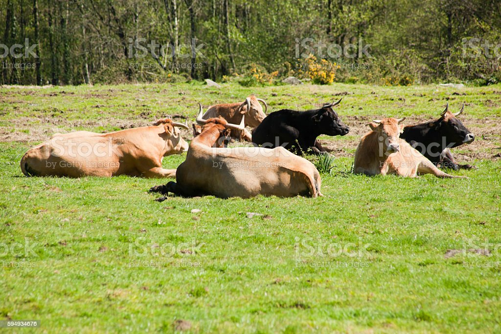 Cows resting on sunny green meadow. stock photo