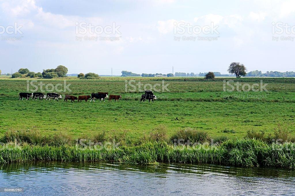 Cows, Single File, In Riverside Meadow stock photo