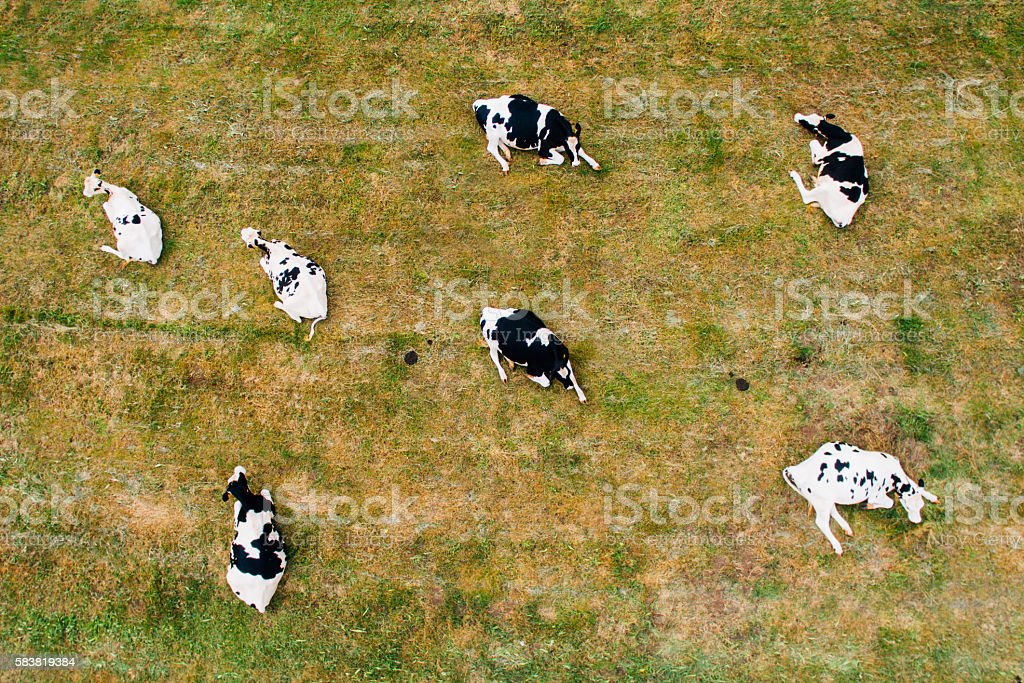 Cows sitting - Aerial view stock photo