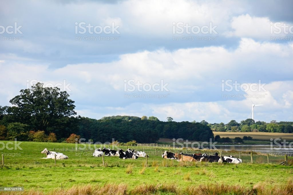 Cows sitting in field, Blithbury. stock photo
