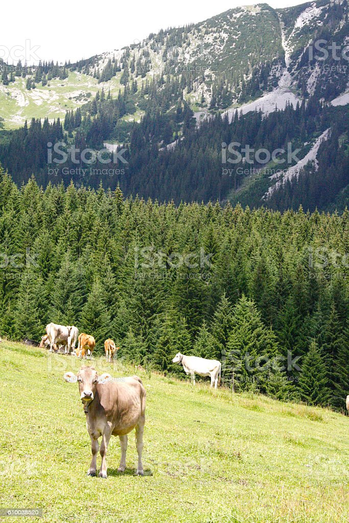 Cows standing in field near mountain in Tirol, Austria stock photo