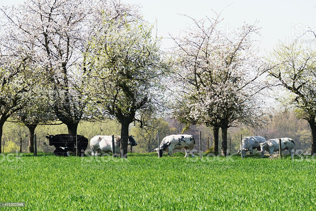 Cows standing in the fruit  tree orchard, Belgium stock photo