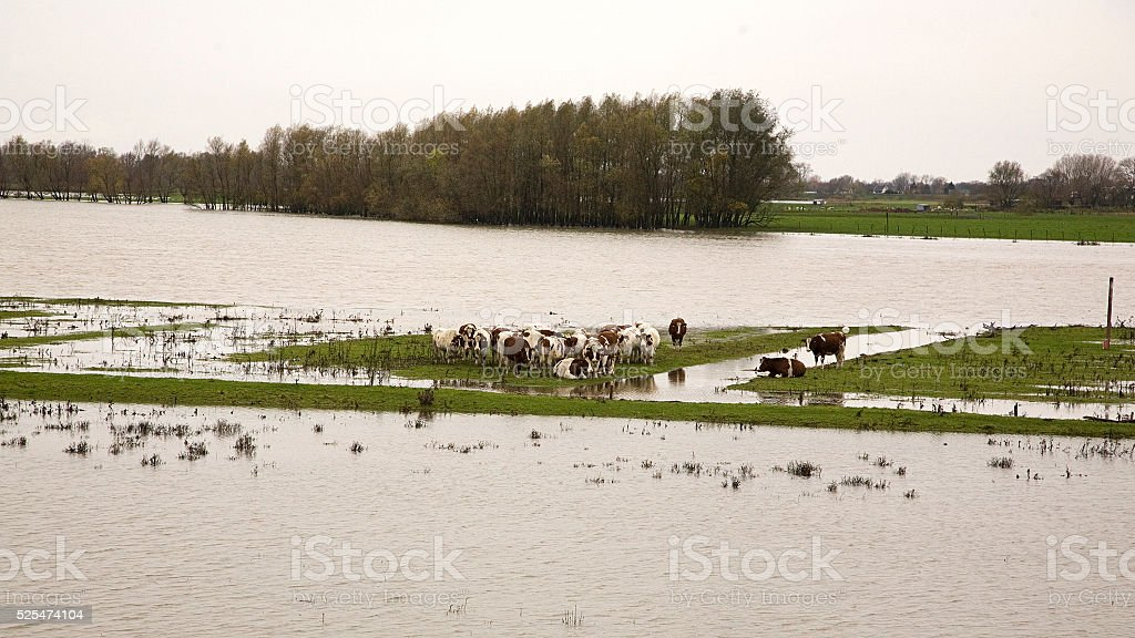 Cows surrounded by rising water of river Meuse stock photo