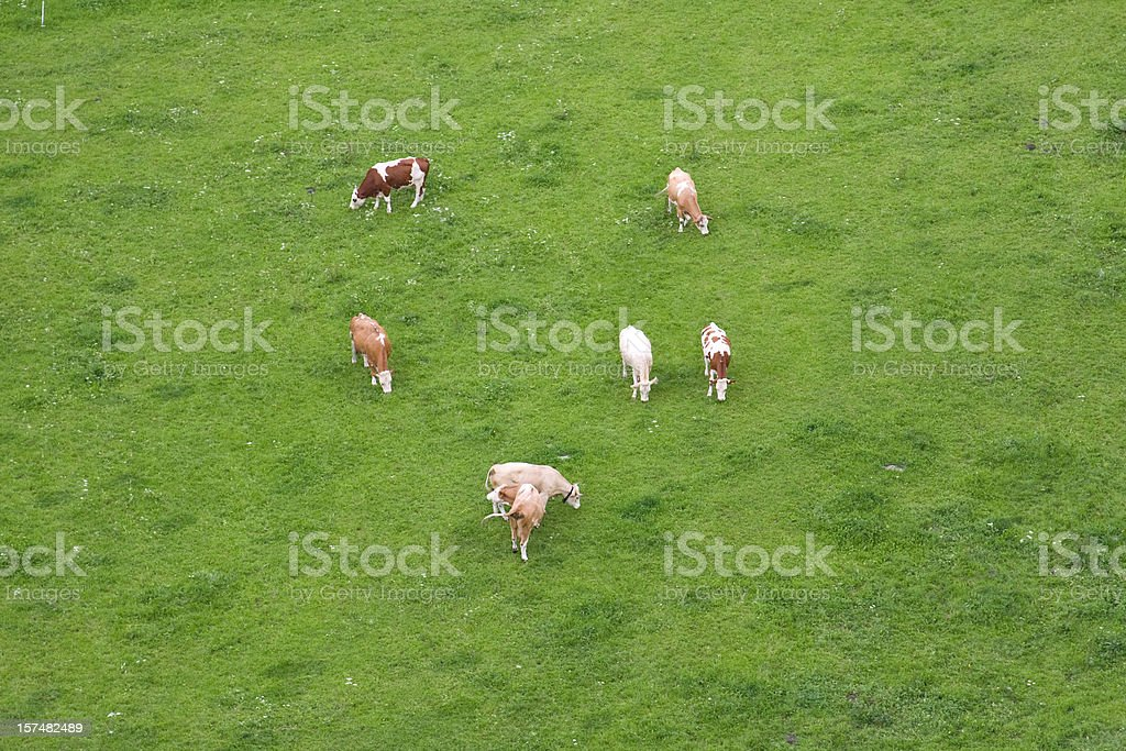 cows, top view royalty-free stock photo