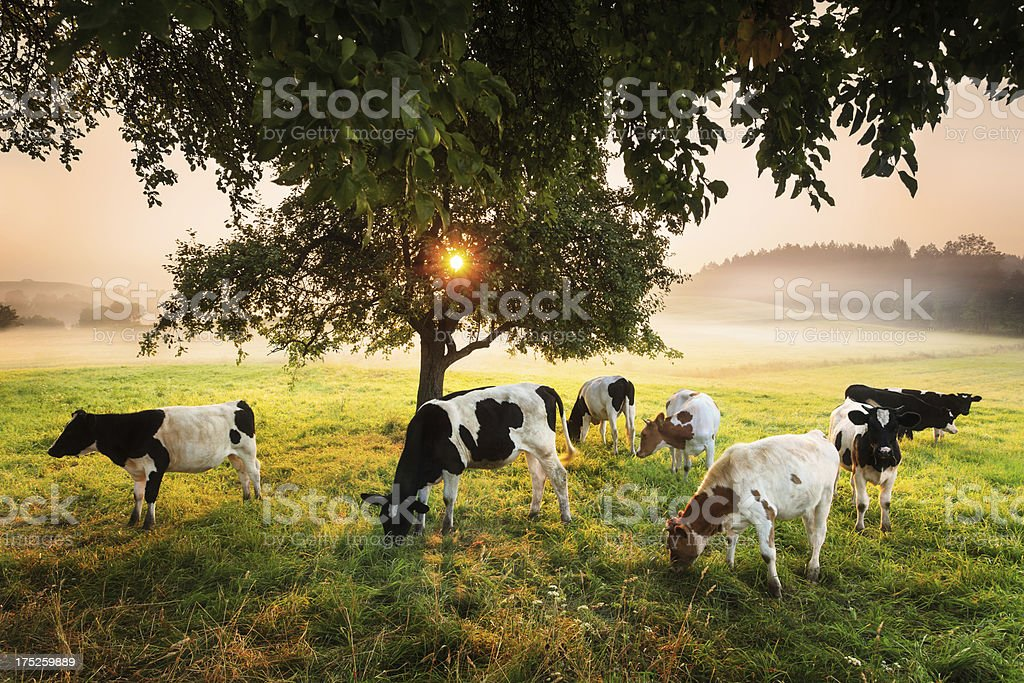 Cows under the Tree - Foggy Sunrise Landscape stock photo