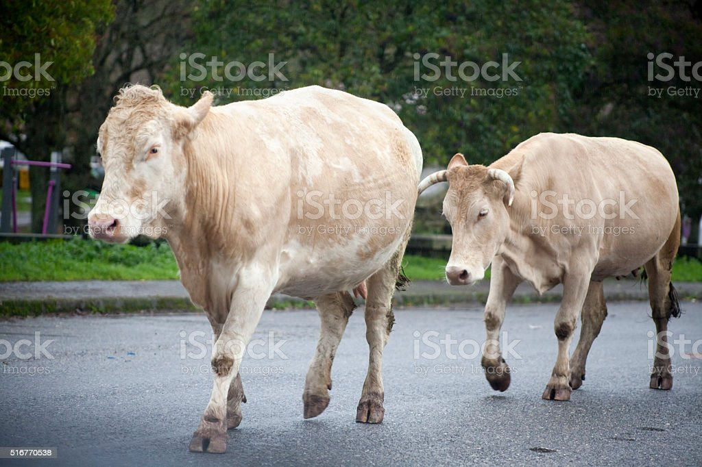 Cows walking on asphalt, Galicia, Spain. stock photo