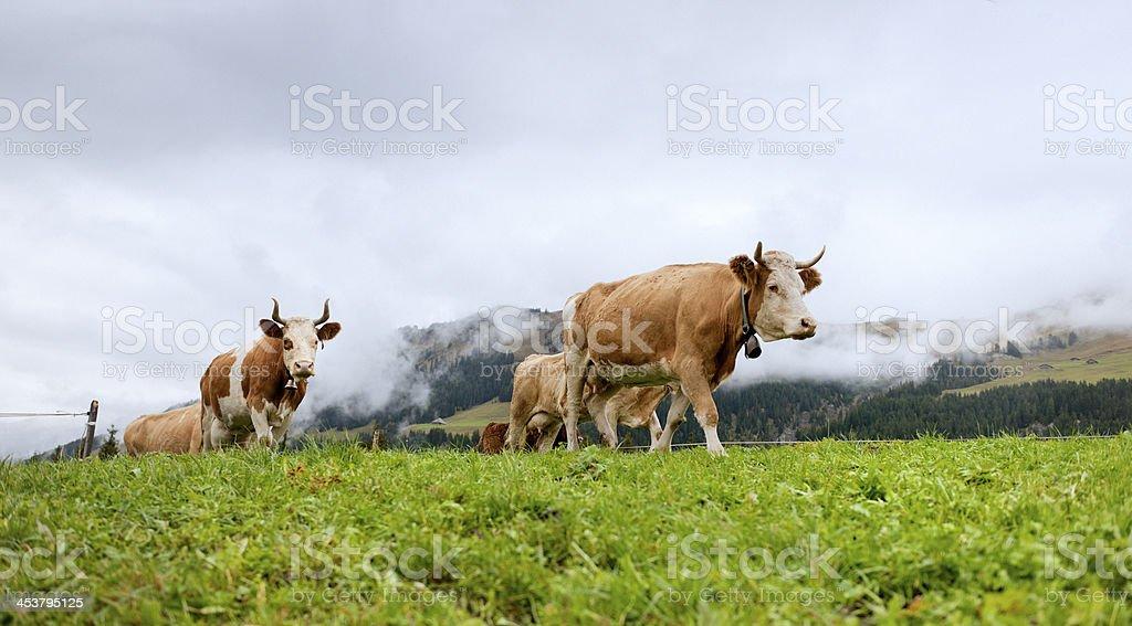 cows walking on mountain royalty-free stock photo
