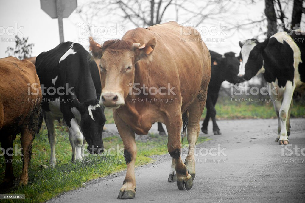Cows walking on the road, Galicia, Spain. stock photo