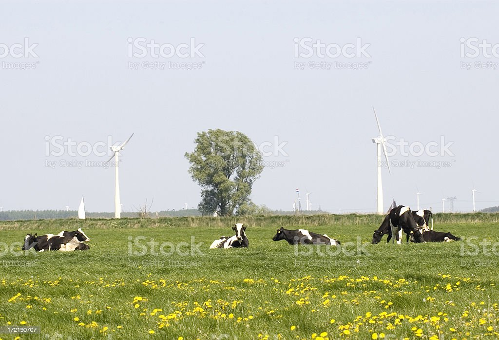 Cows, Wind Turbines & Dandelions in the Dutch Landscape royalty-free stock photo