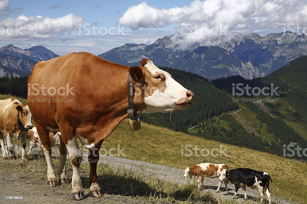 Cows with bells walking in the alps on summer day royalty-free stock photo