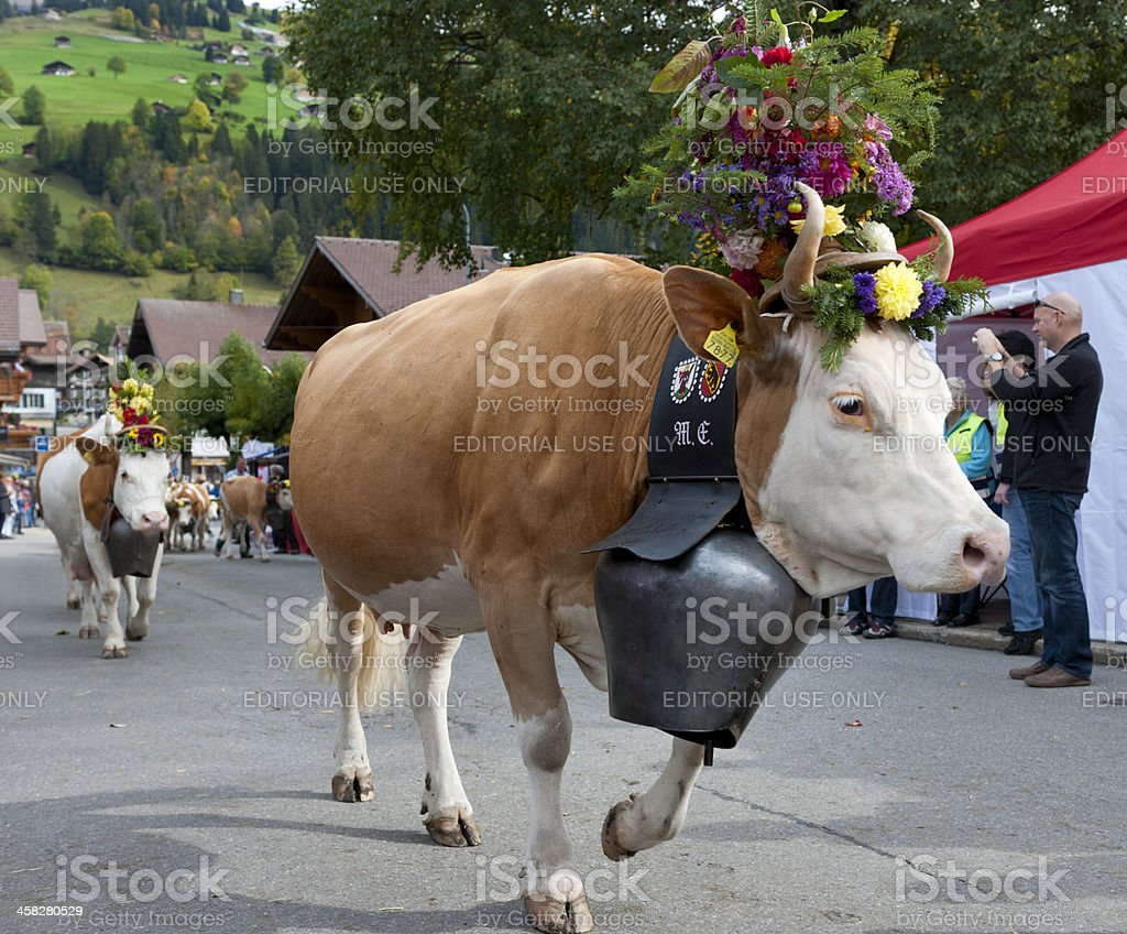 cows with flower decoration and bells walking in village royalty-free stock photo