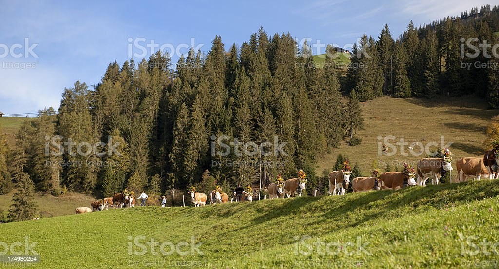 cows with flower decoration walking down mountain royalty-free stock photo