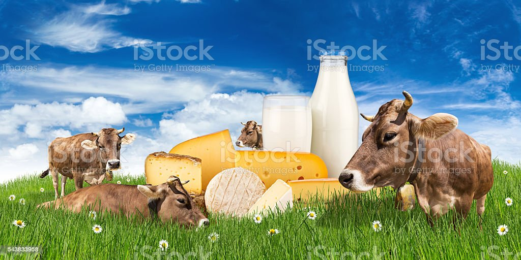 cows with milk bottle and cheese on meadow stock photo