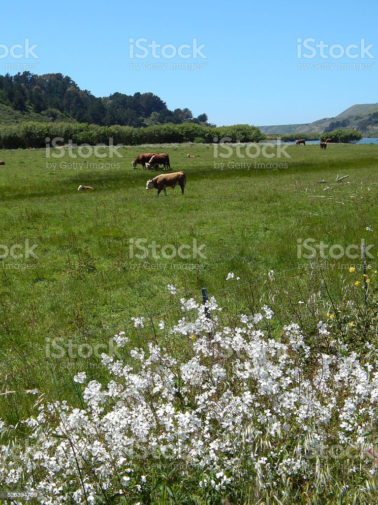 Cows with white flowers stock photo