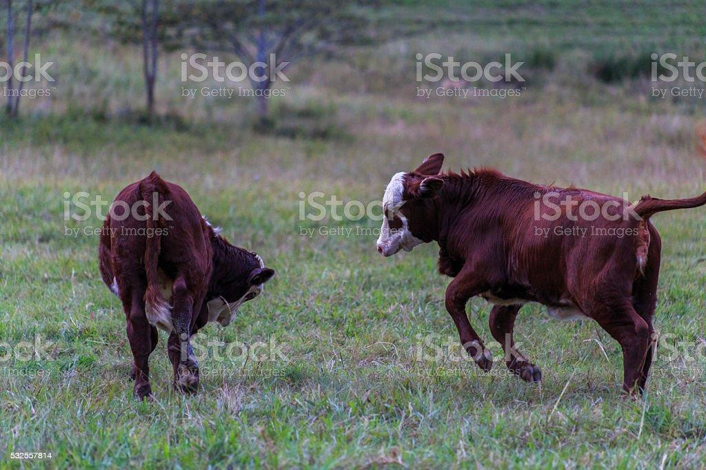 Cows/Calfs Play stock photo