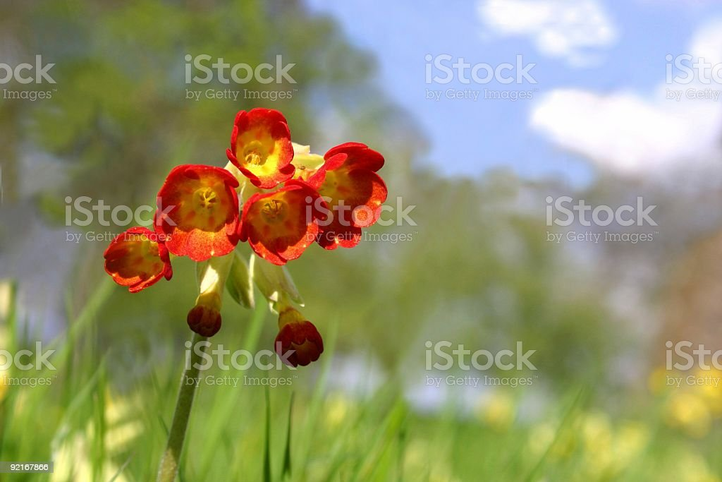 cowslip also known as primula royalty-free stock photo