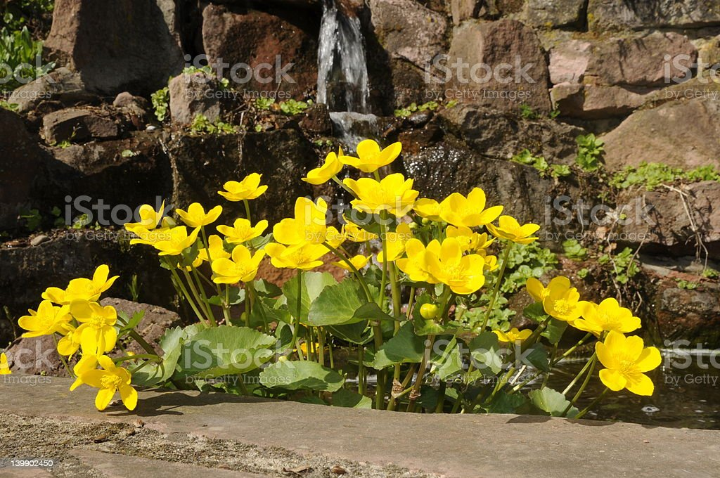 Cowslip and waterfall stock photo