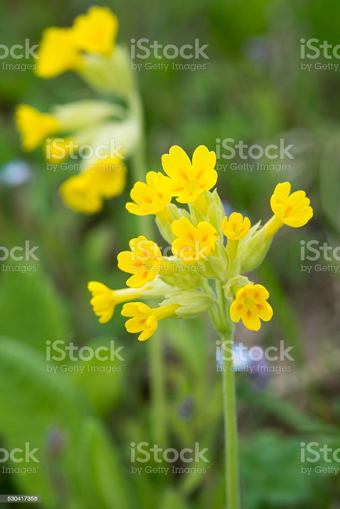Cowslip flowers stock photo