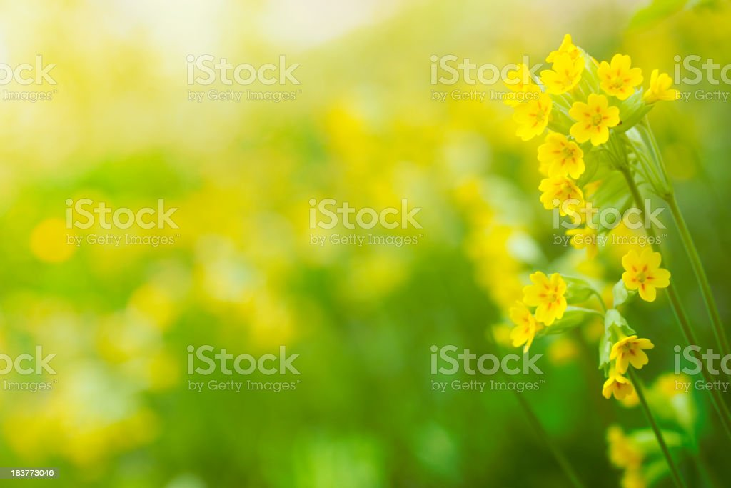 Cowslip in bloom stock photo