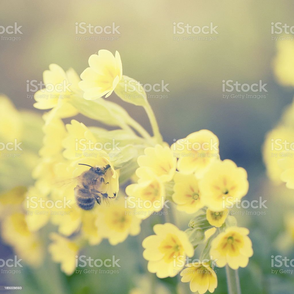 Cowslip [Primula veris] with honey bee stock photo