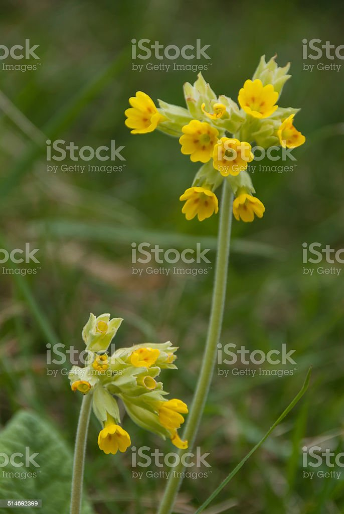 Cowslips in a Meadow stock photo