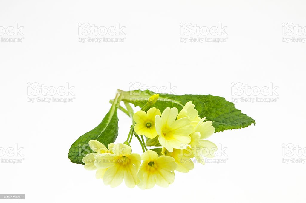 Cowslips stock photo