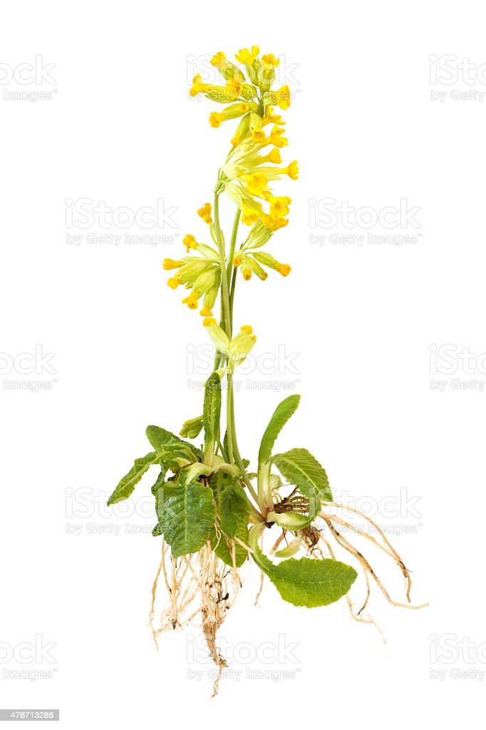 Cowslips with roots stock photo