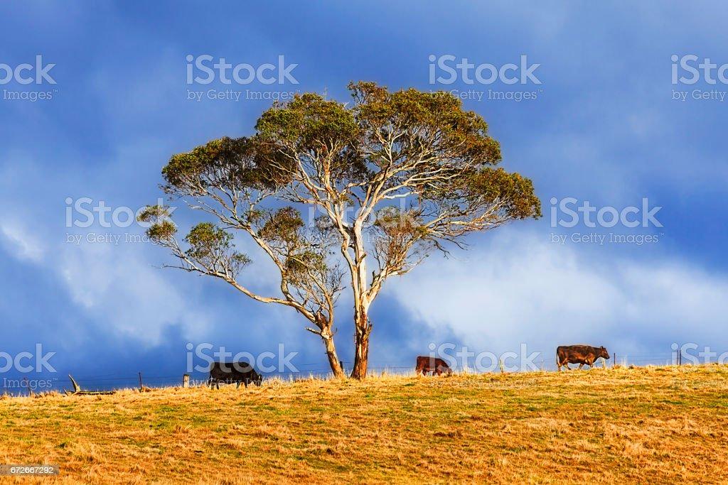 BM Coxs 3 cows Tree stock photo