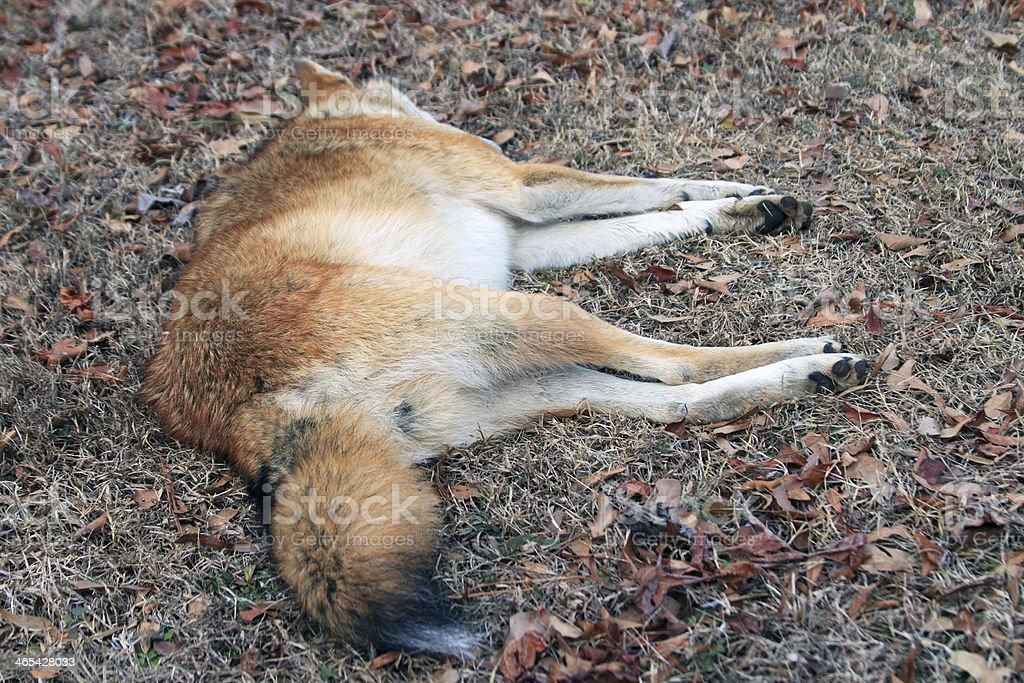 Coyote 3 stock photo