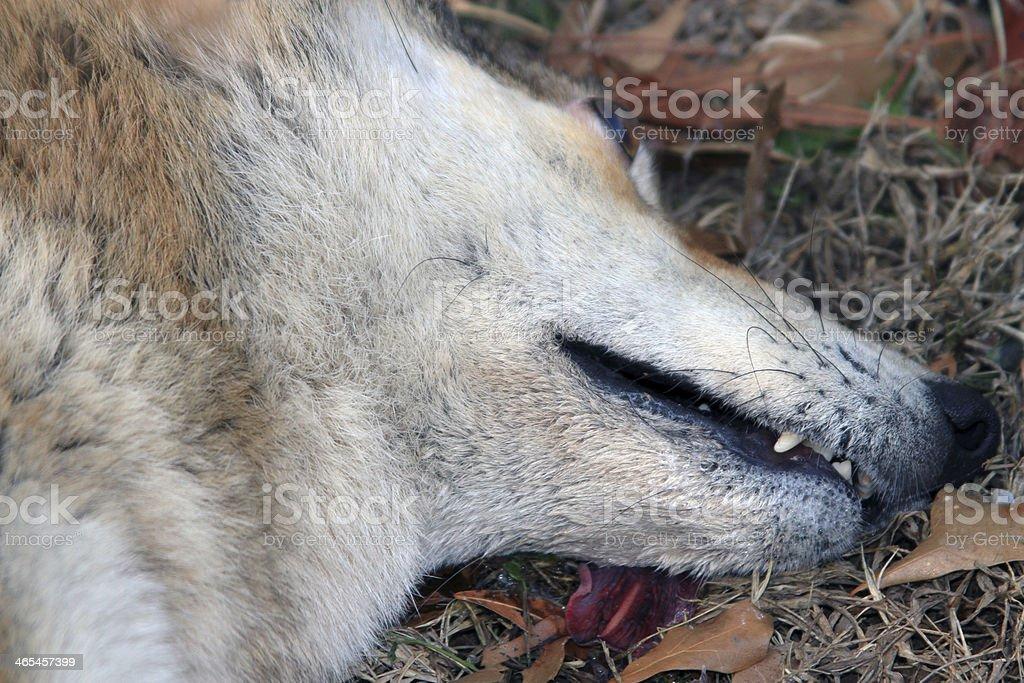 Coyote 4 stock photo
