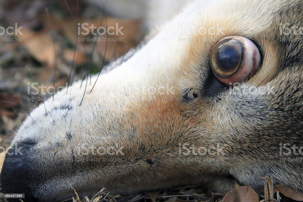 Coyote 5 stock photo