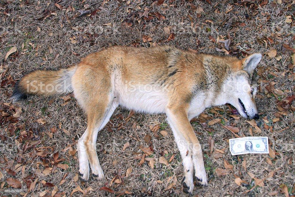 Coyote 6 stock photo