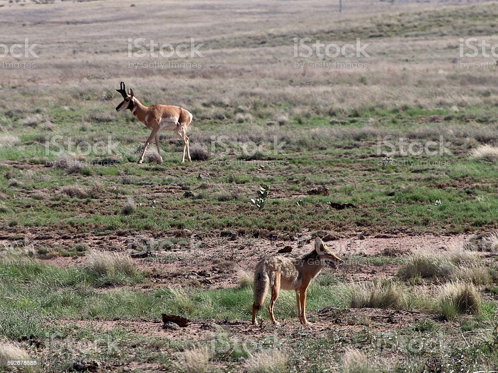 Coyote and Pronghorn Buck in Prescott Highlands stock photo