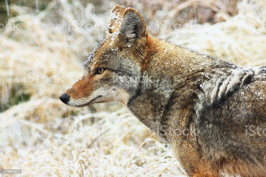 Coyote Canis latrans Carnivore Animal Winter stock photo