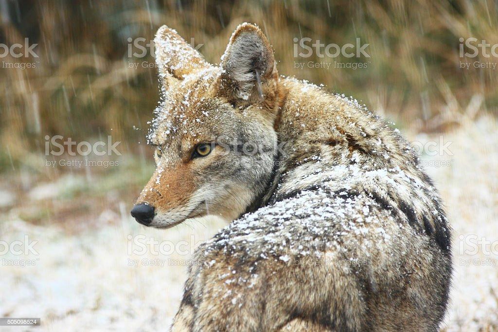 Coyote Canis latrans Wild Animal Snow stock photo