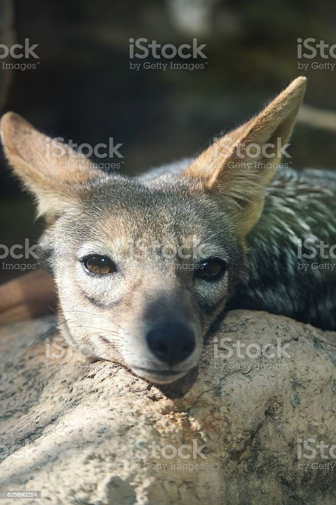Coyote - close up stock photo