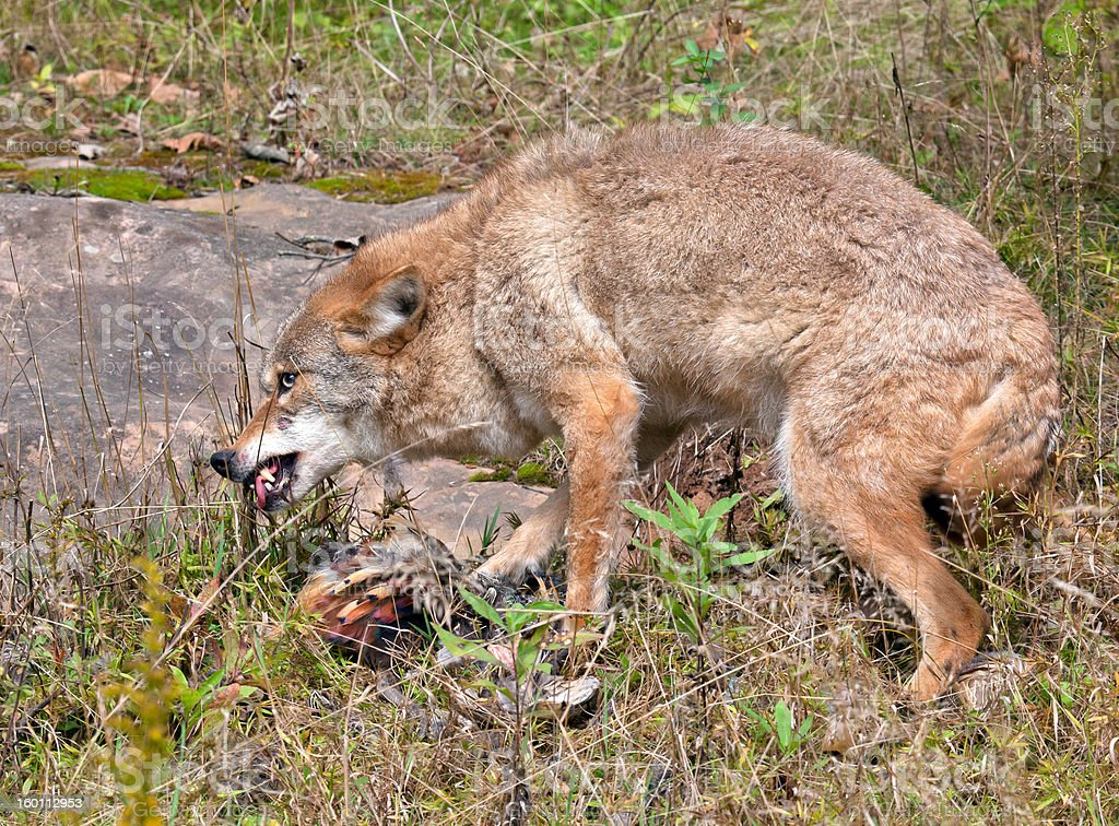 Coyote eating pheasant royalty-free stock photo