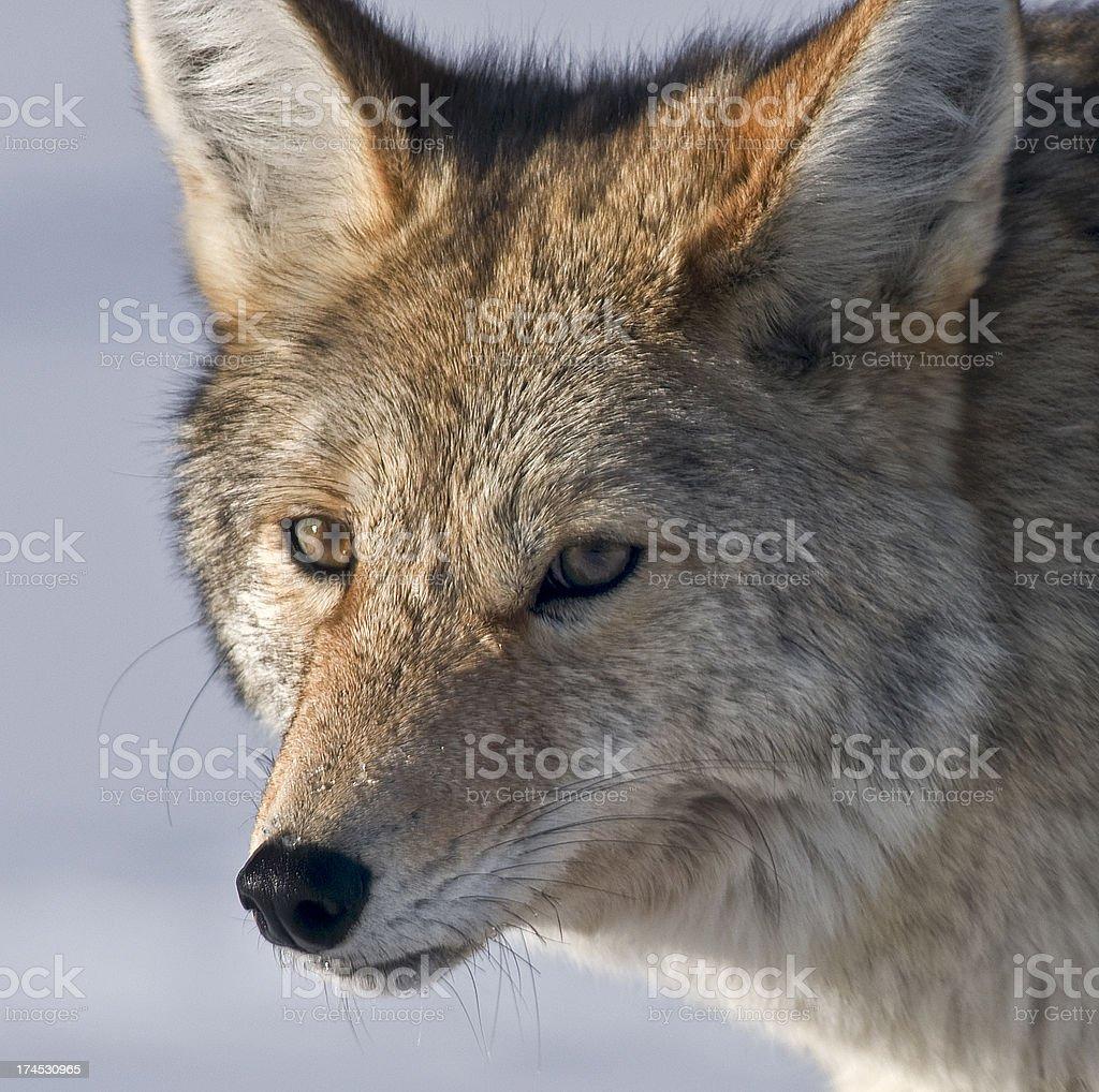 Coyote head shot royalty-free stock photo