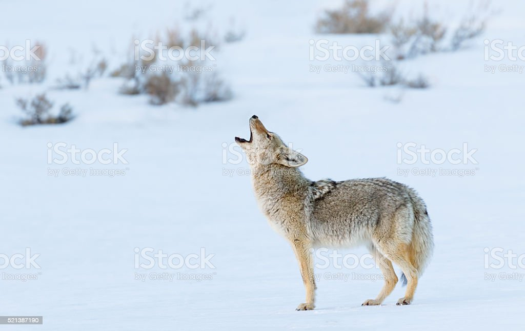Coyote Howling in Winter stock photo