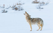 Coyote Howling in Winter