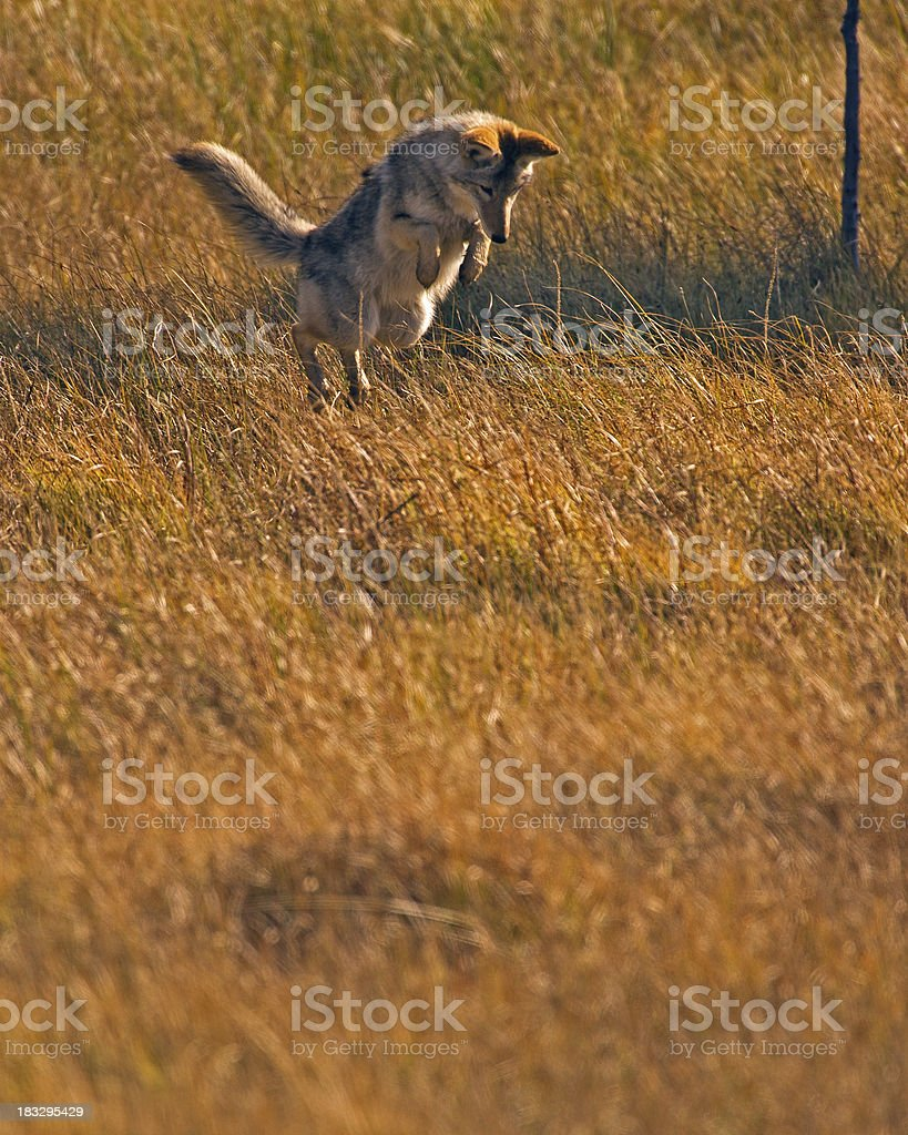 Coyote Hunting Mice in Yellowstone National Park royalty-free stock photo