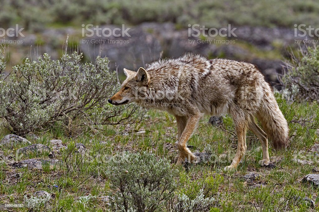 Coyote hunts in Yellowstone National Park stock photo