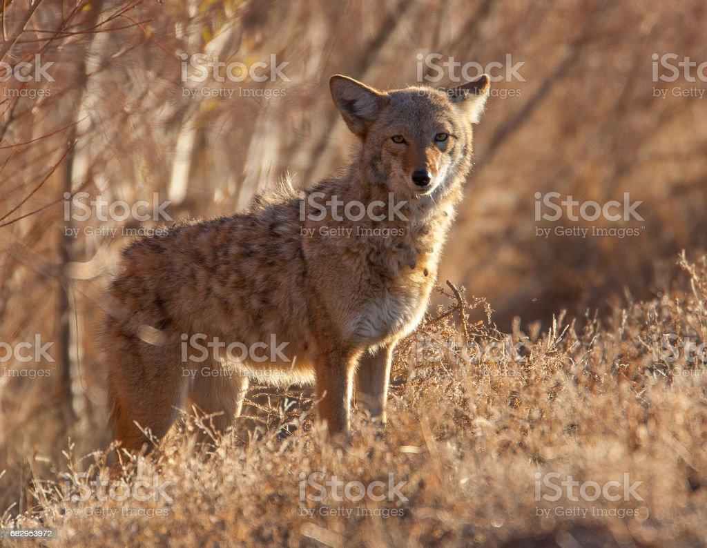 Coyote in deep brush at Bosque del Apache in New Mexico stock photo