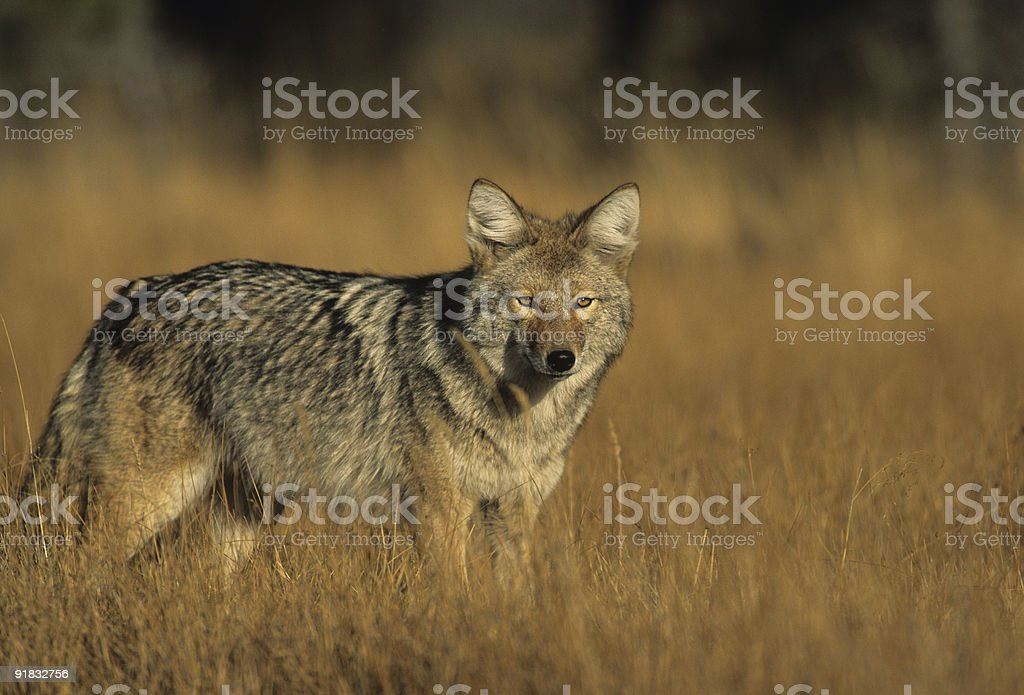 A coyote in long grass looks at the camera stock photo