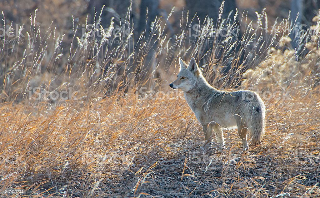 Coyote in Morning Field stock photo