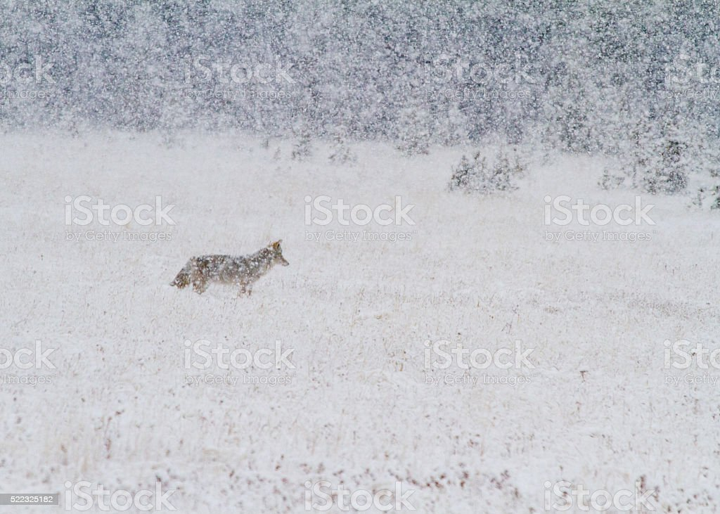 Coyote in Snow stock photo
