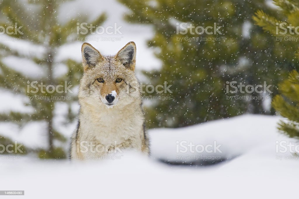 Coyote in Snow Storm. Yellowstone National Park, Wyoming. royalty-free stock photo