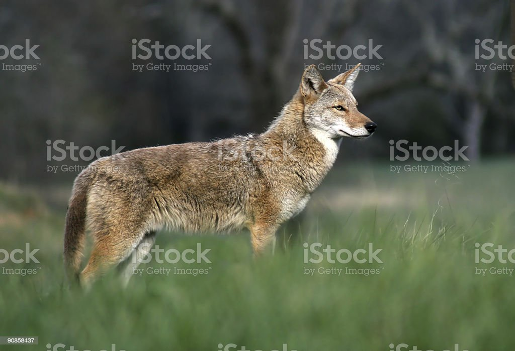 Coyote in the Cove royalty-free stock photo