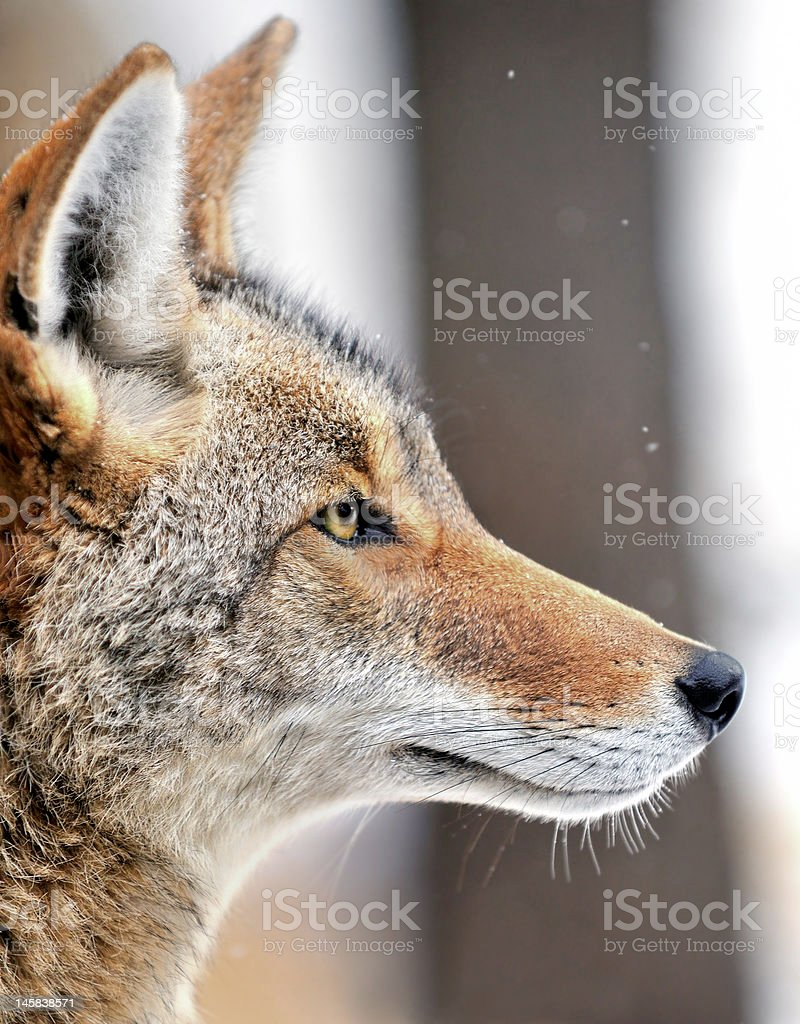 Coyote (Canis latrans) in the Snow royalty-free stock photo