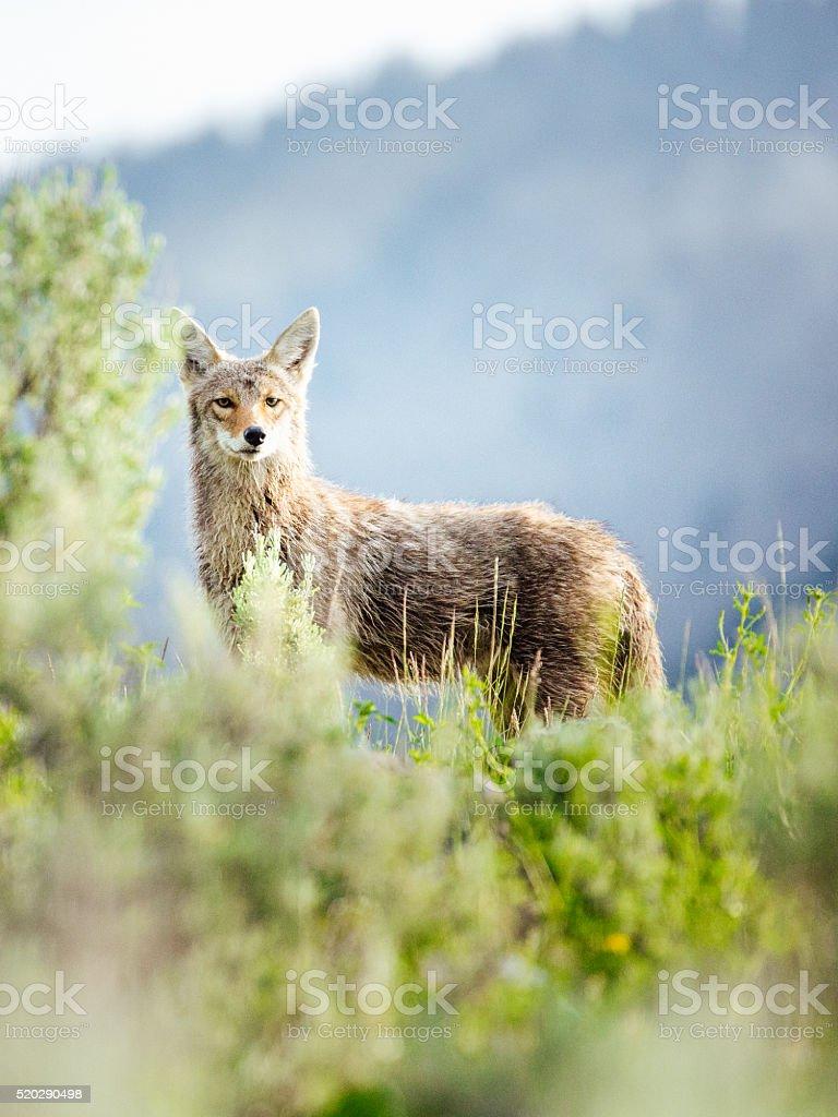 Coyote in the wild stock photo